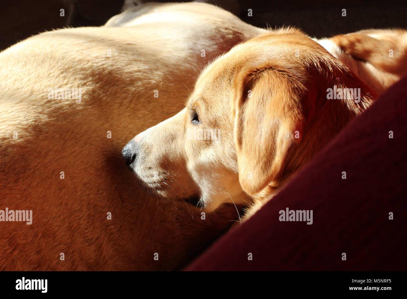 Dogs enjoying sunshine indoors - Stock Image
