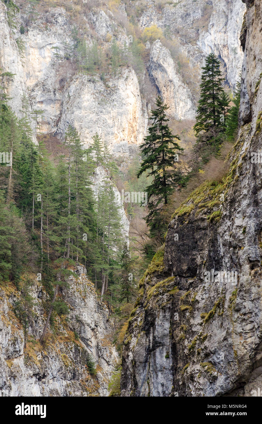 Spruces on the precipitous limestone cliffs of Trigrad gorge, Rhodope Mountains, Bulgaria - Stock Image