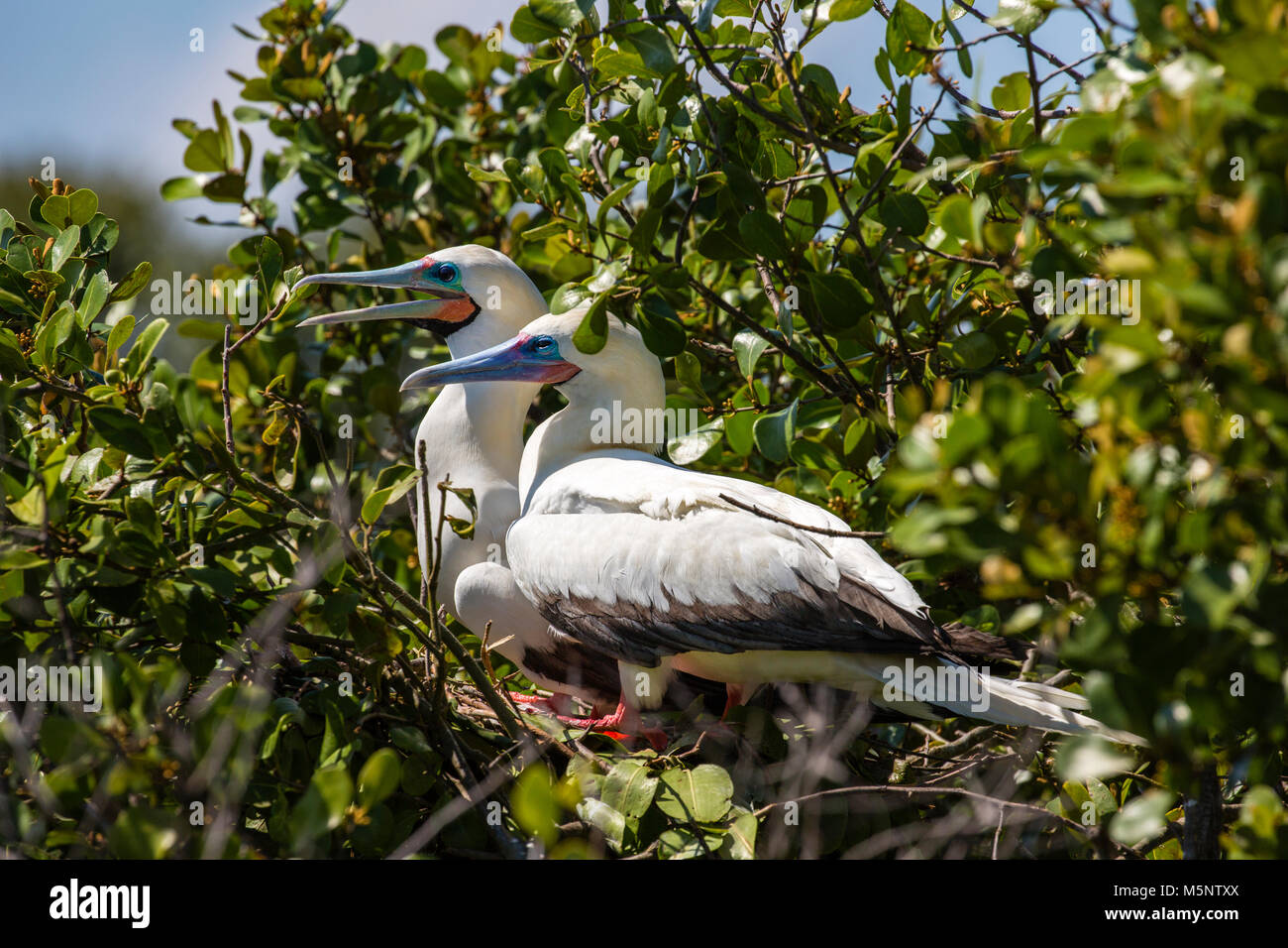 Red Footed Booby sanctuary at Half Moon Caye National Monument, Turneffe Atoll, Belize - Stock Image