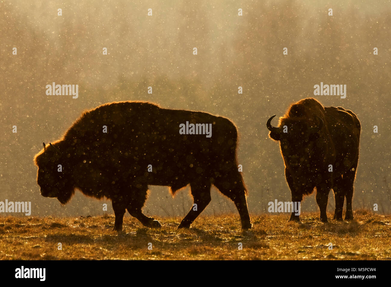 Two male bison in silhouette, photographed against the sunrise light, during a snowstorm. Stock Photo
