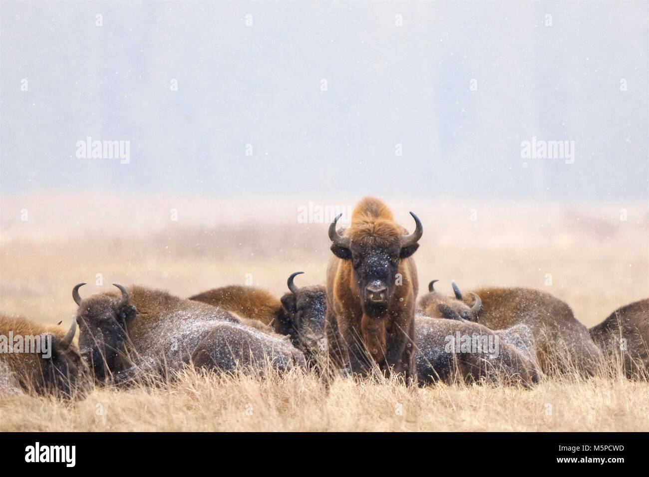 A herd of bison patiently sits out a snow storm, in Bialowieza National Park, in Poland. Stock Photo