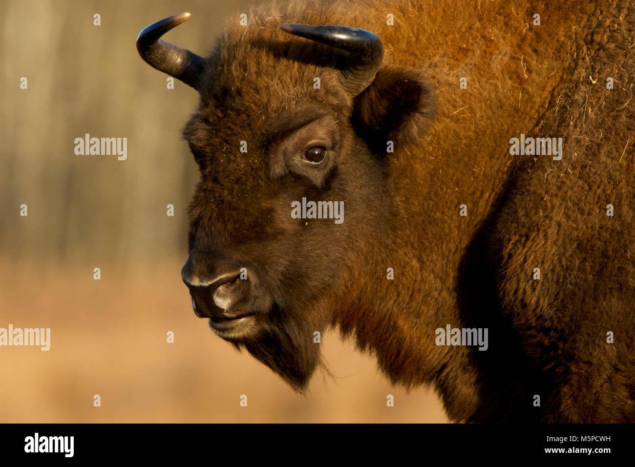 Closeup portrait of a full-grown European Bison in Bialowieza, in Poland. Stock Photo
