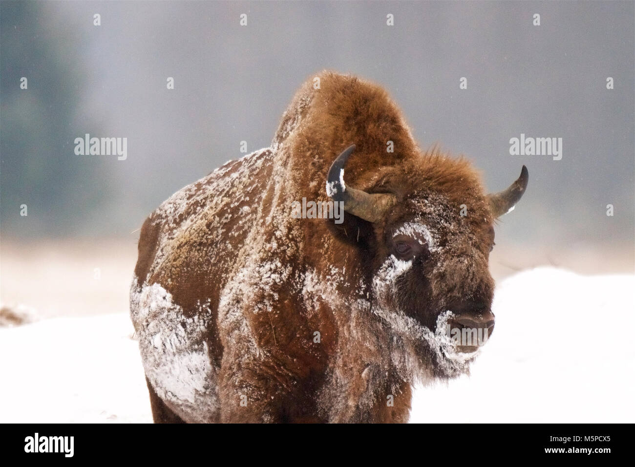 A full-grown European Bison shakes off the snow, in a snowed wintery landscape, in Bialowieza, in Poland. The bales Stock Photo