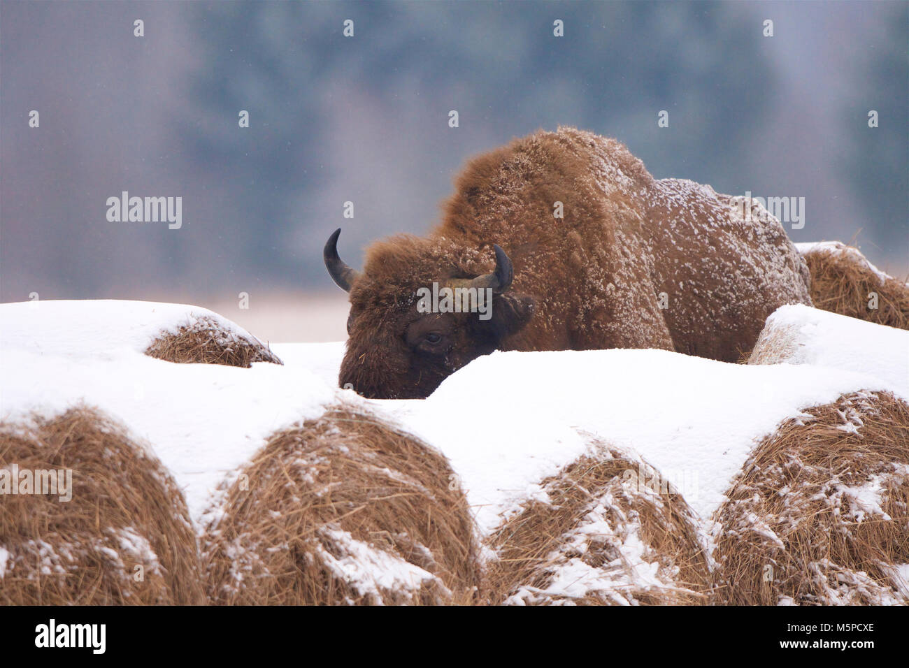 A full-grown European Bison behind some hay bales, in a snowed wintery landscape, in Bialowieza, in Poland. The Stock Photo