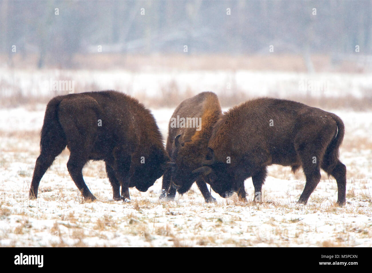 Three full-grown European Bison sparring, in a snowed wintery landscape, in Bialowieza National Park, in Poland. Stock Photo