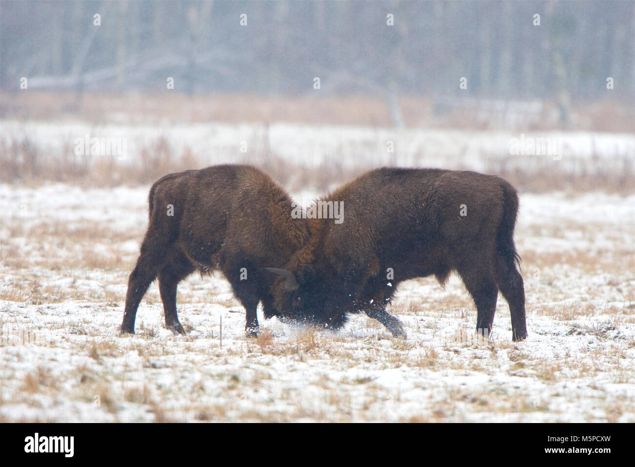 Two full-grown European Bison sparring, in a snowed wintery landscape, in Bialowieza National Park, in Poland. Stock Photo