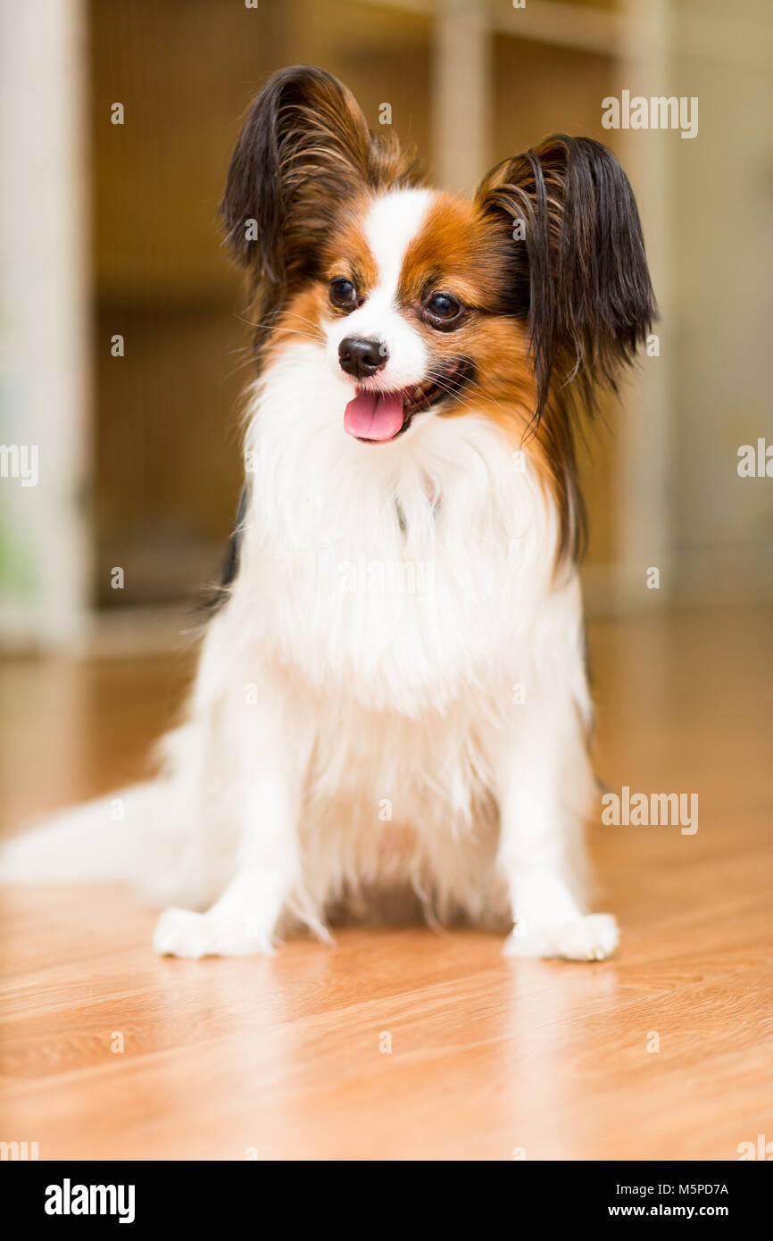 The Papillon dog sits contentedly on the floor with his tongue out - Stock Image
