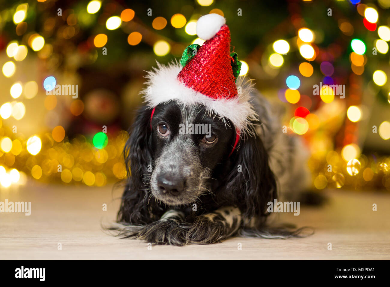 spaniel dog in a gnome cap lies on the floor near a Christmas tree with garlands - Stock Image