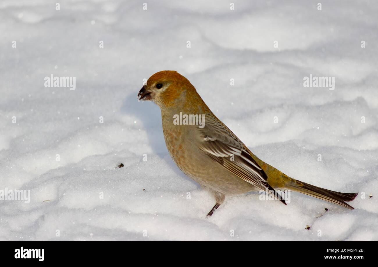 Pine Grosbeak female - Stock Image