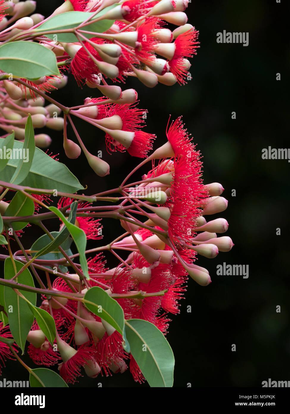 Flowering Gum Trees Stock Photos & Flowering Gum Trees Stock Images ...