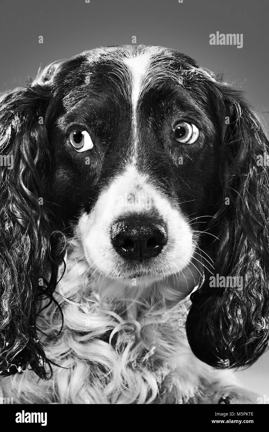 Spotted curly black black dog. Black white photo is taken in the studio. Dog's portrait - Stock Image