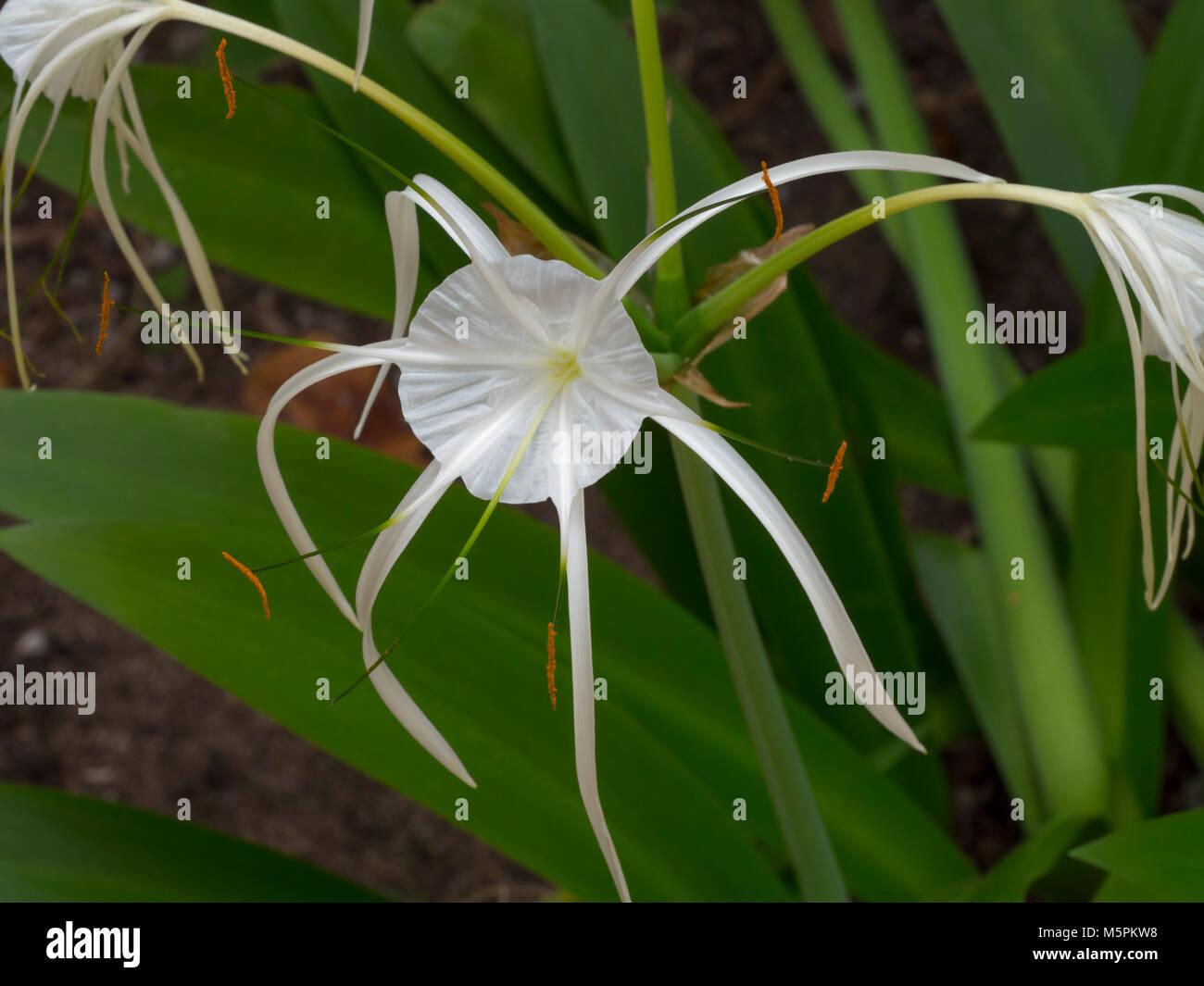 White spider lily flower crinum asiaticum northern thailand stock white spider lily flower crinum asiaticum northern thailand izmirmasajfo Image collections