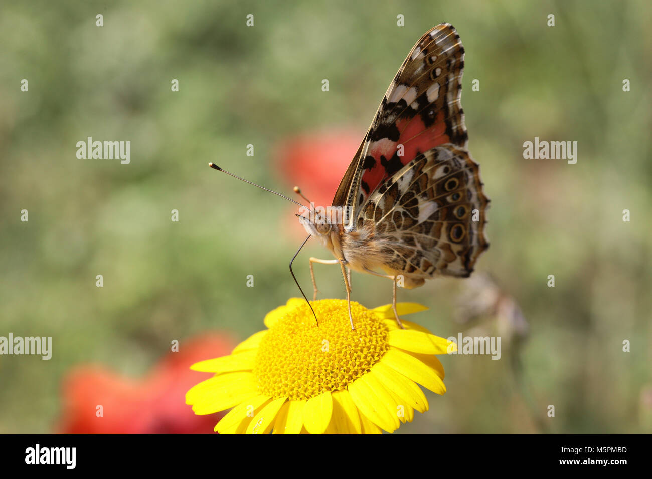 Vanessa cardui - Painted Lady drinking nectar from yellow blossom - Stock Image