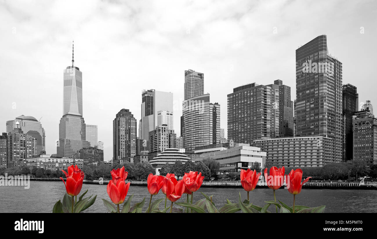 Black and white view of New York city with red tulips on front Stock Photo