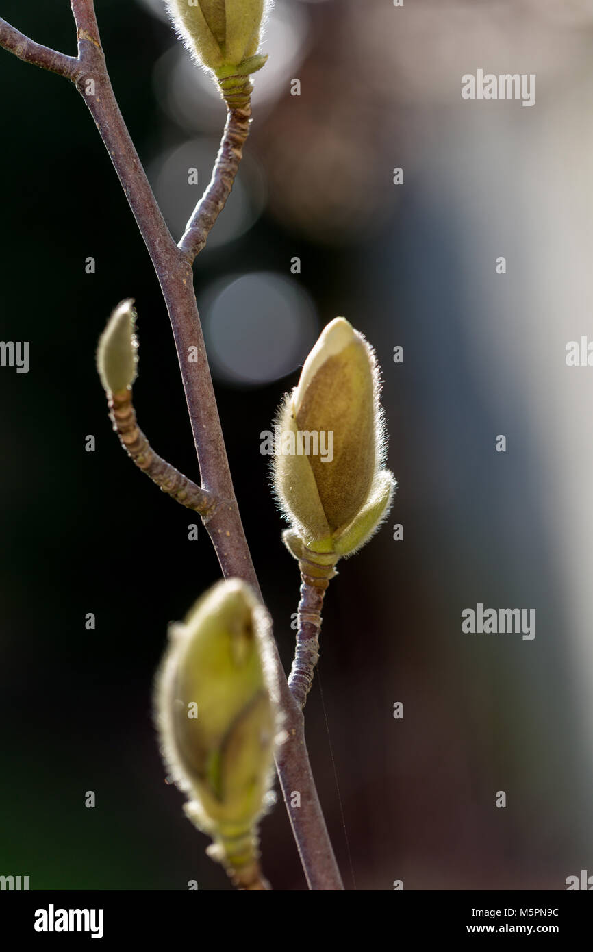Magnolia buds growing in the late winter February sunshine Stock Photo