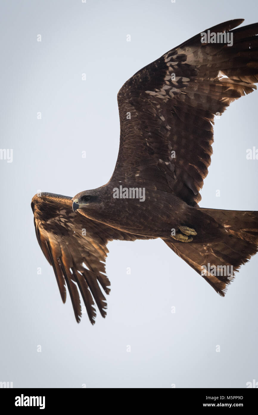 The black kite (Milvus migrans) is a medium-sized bird of prey in the family Accipitridae. - Stock Image
