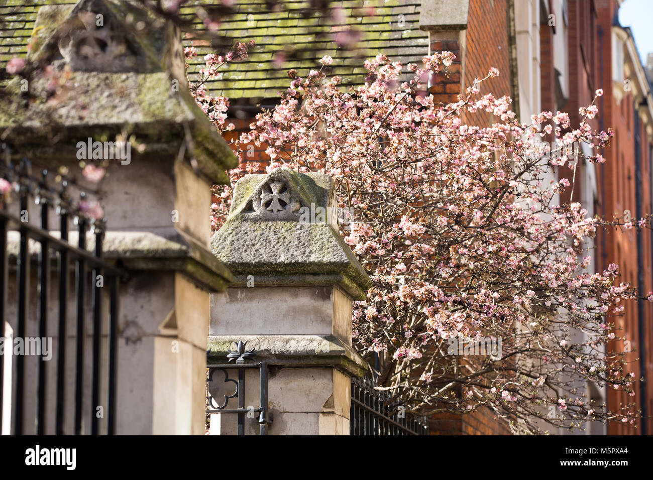 Cherry Blossom, showing early signs of Spring, Drury Lane Gardens ...