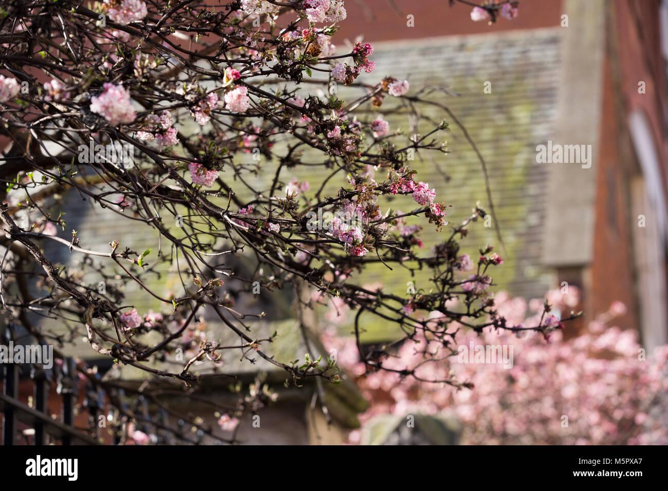 Cherry Blossom, showing early signs of Spring, Drury Lane Gardens, Covent Garden, West End, Central  London, UK - Stock Image