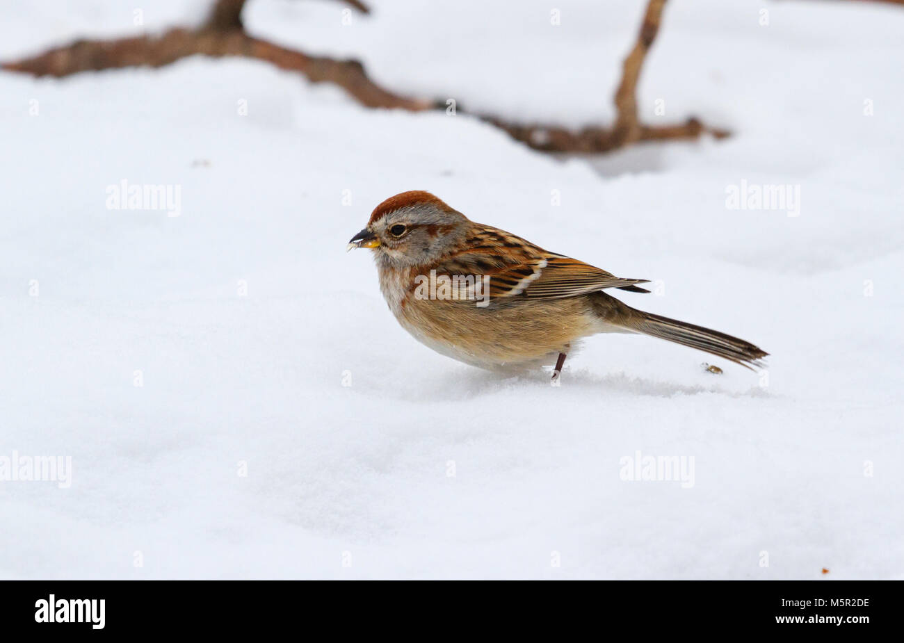 American Tree Sparrow (Spizella arborea) in snow - Stock Image