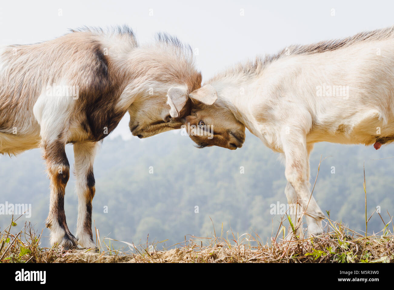 Himalayan goats fighting at the field. - Stock Image