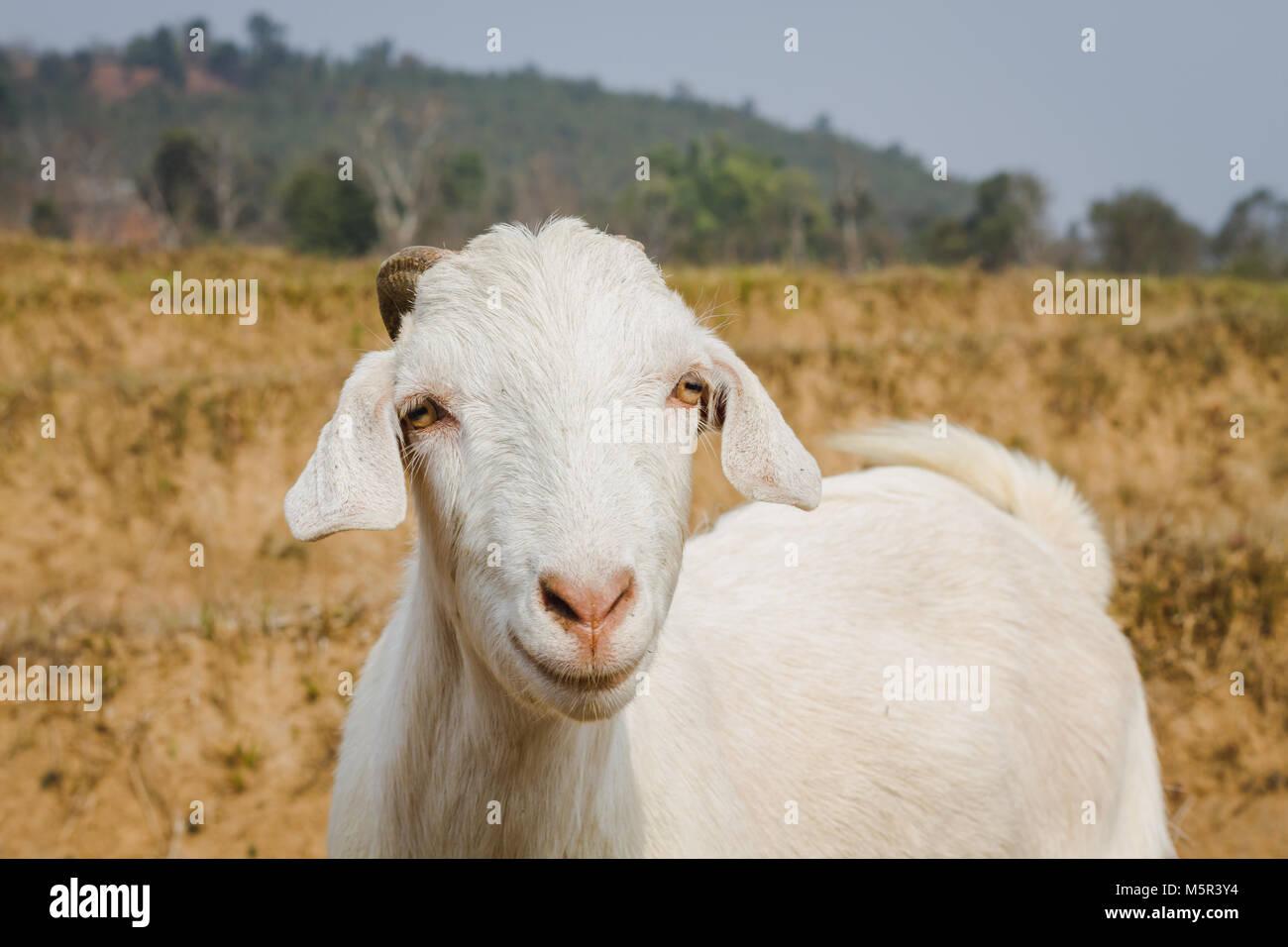 Himalayan goat looking at the Camera - Stock Image