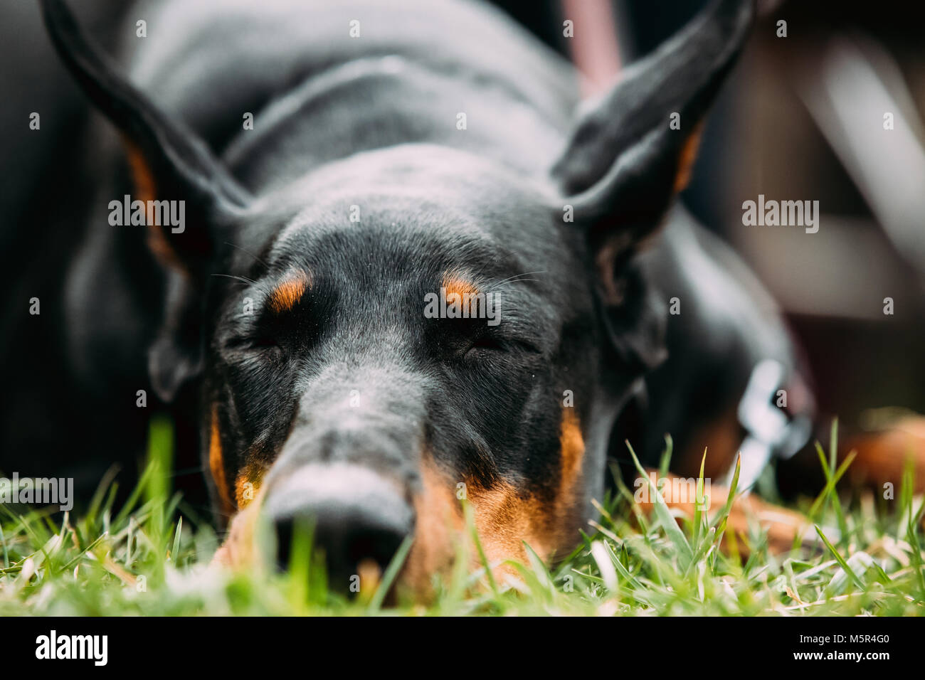 Young, Beautiful, Black And Tan Doberman Resting In Green Grass. Dobermann Is A Breed Known For Being Intelligent, - Stock Image