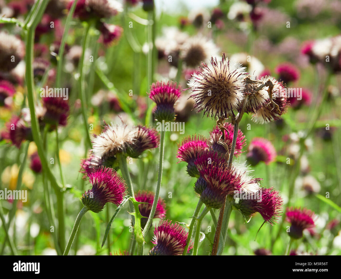 Red Plume Thistle flowers in an English country garden on a sunny summers day. - Stock Image