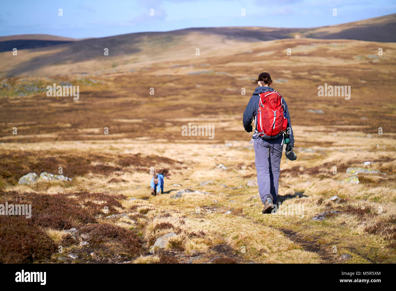 A hiker and their dog walking off the summit of Carrock Fell in the Caldbeck Fells, English Lake District, UK. - Stock Image