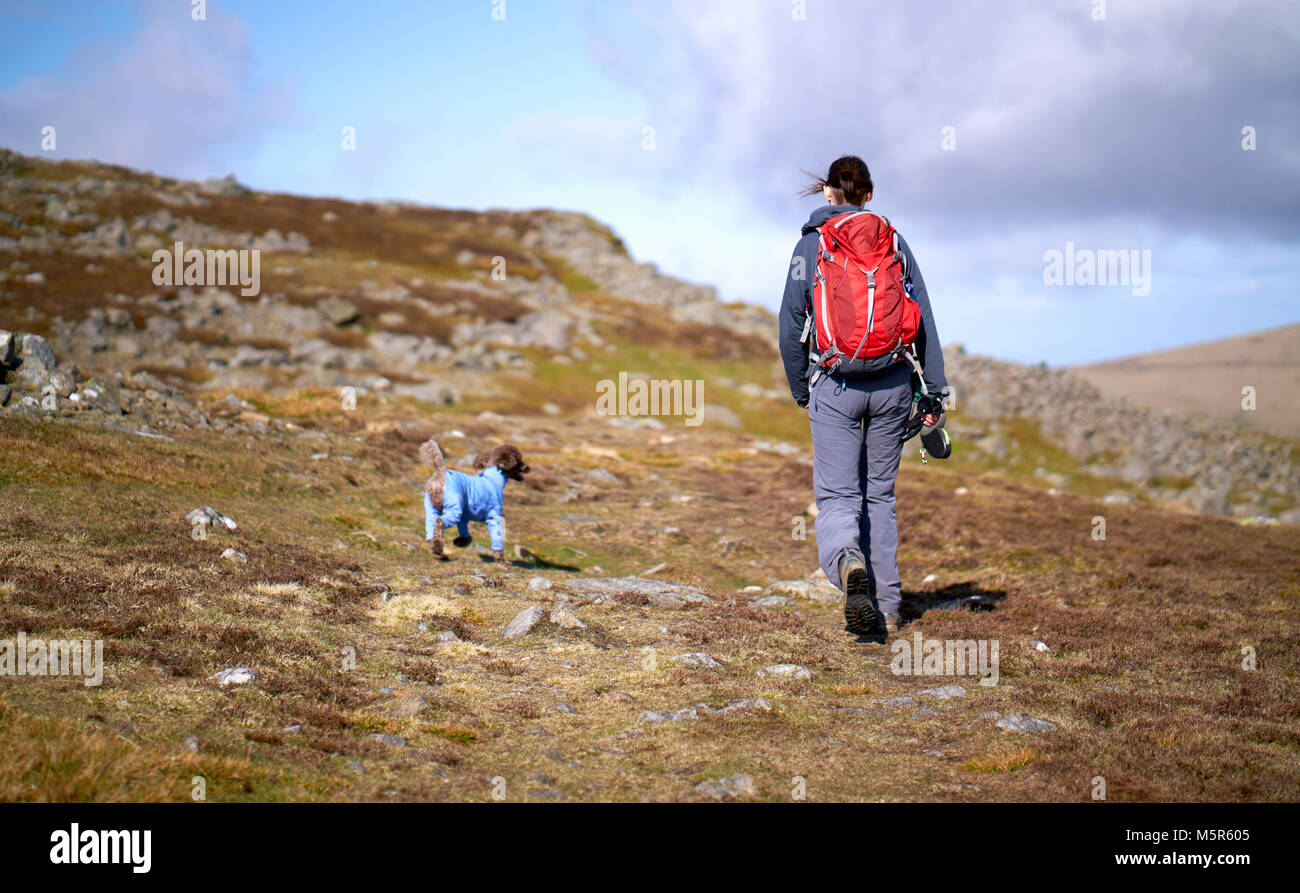 A hiker and their dog approaching the summit of Carrock Fell in the Caldbeck Fells, English Lake District, UK. - Stock Image