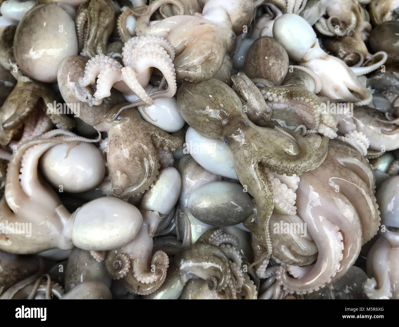 Dollfus octopus for sale at the  fishery market for cooking photo with phone in outdoor low lighting. - Stock Image