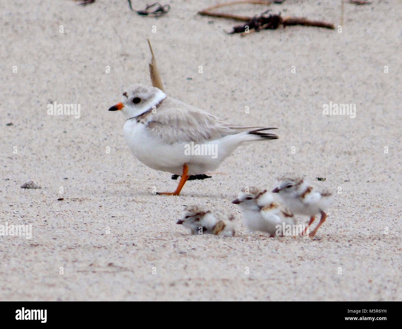 Piping Plovers . The piping plover is an iconic shorebird that breeds and nests along the Atlantic Coast, the Great - Stock Image