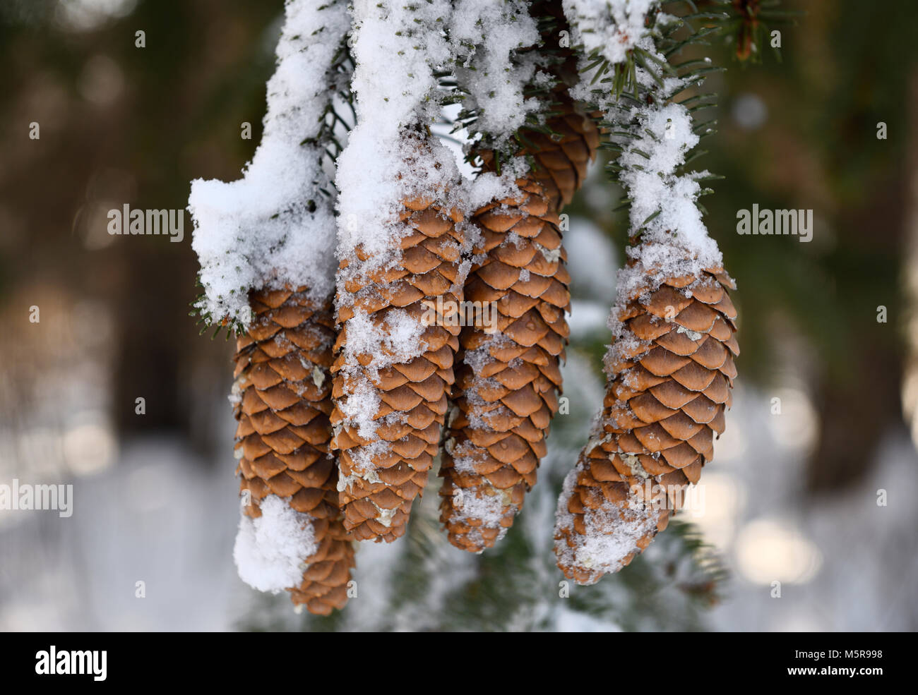 Norway Spruce tree cones covered in melting snow in winter forest Toronto Canada - Stock Image