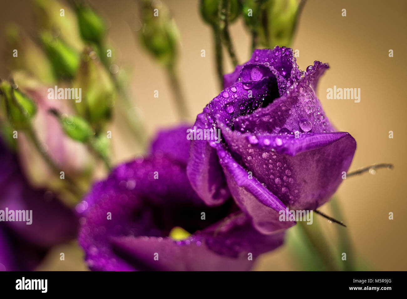 Lisianthus (eustoma/prairie gentian) covered with water drops macro close up shot - Stock Image