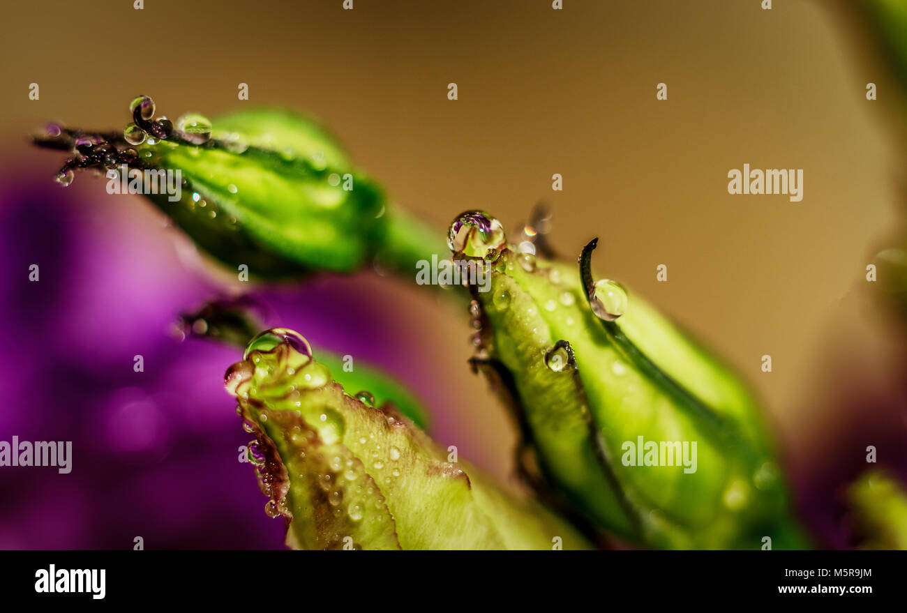 Lisianthus (eustoma/prairie gentian) bud covered with water drops macro close up shot - Stock Image