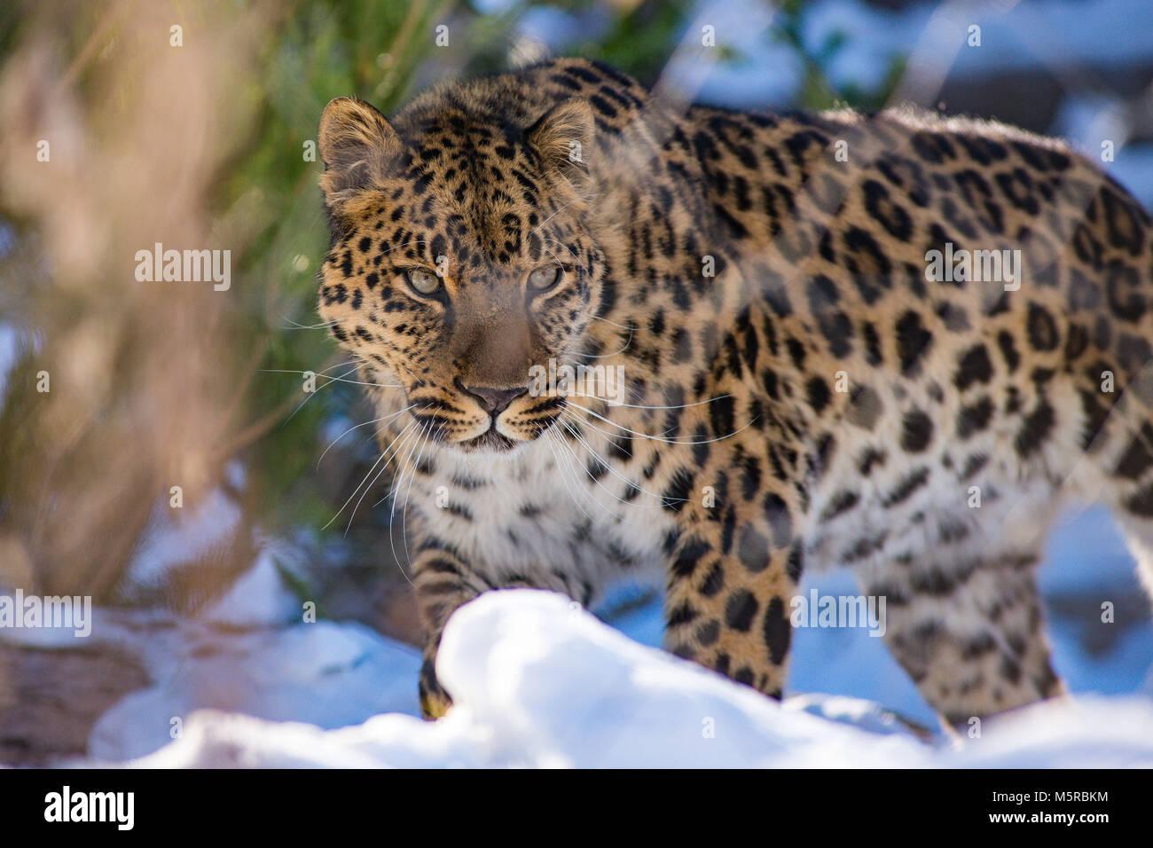 far Eastern leopard in winter the predator is a dangerous animal - Stock Image