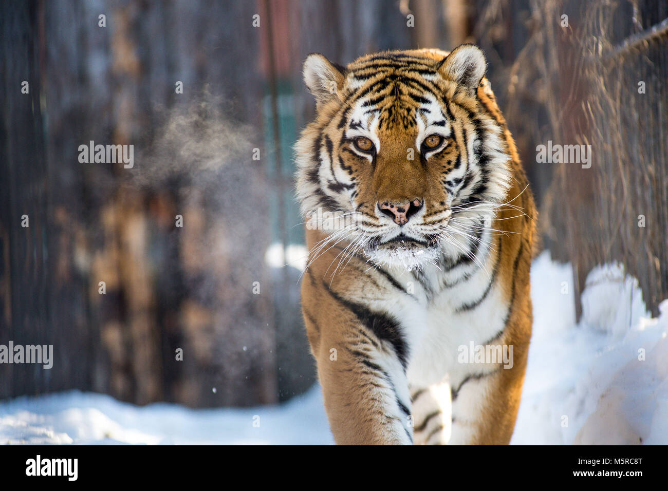 Amur or Ussuri tiger, in winter or the far Eastern tiger is the northernmost. Listed in the Red book - Stock Image