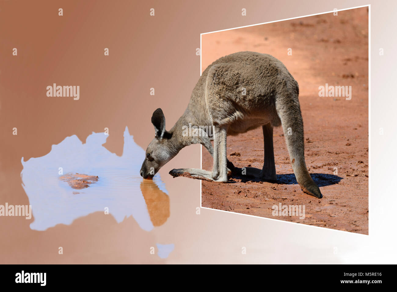 Out of Frame Kangaroo drinking from a puddle in the shape of Australia Stock Photo