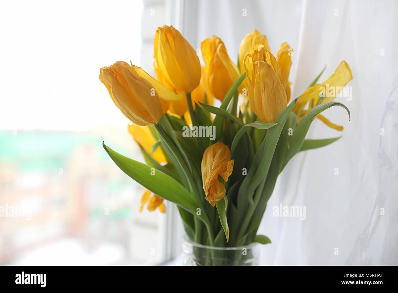A bouquet of yellow tulips in a vase on the windowsill. A gift t - Stock Image
