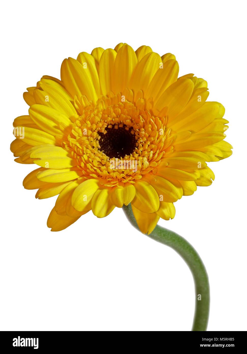 Yellow Gerbera Flower On White Background Stock Photo 175695497 Alamy