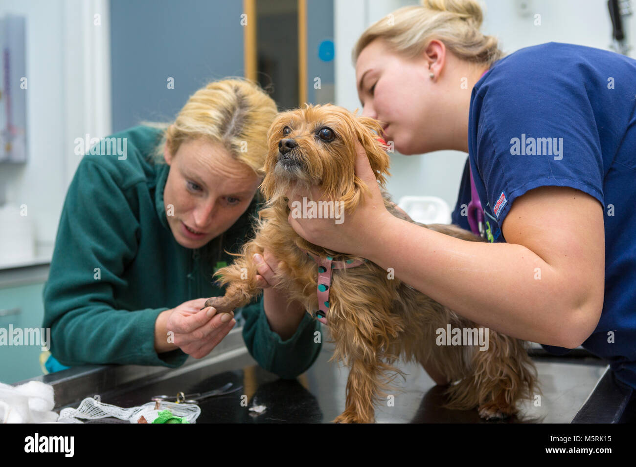 Veterinary surgeon checks the foot of a small dog in a veterinary surgery - Stock Image