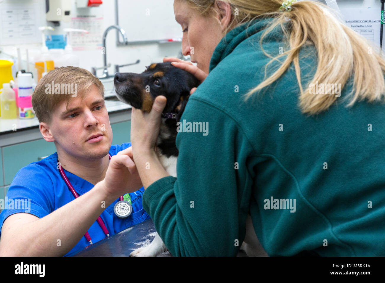 Veterinary surgeon checks a small dog in a veterinary surgery - Stock Image