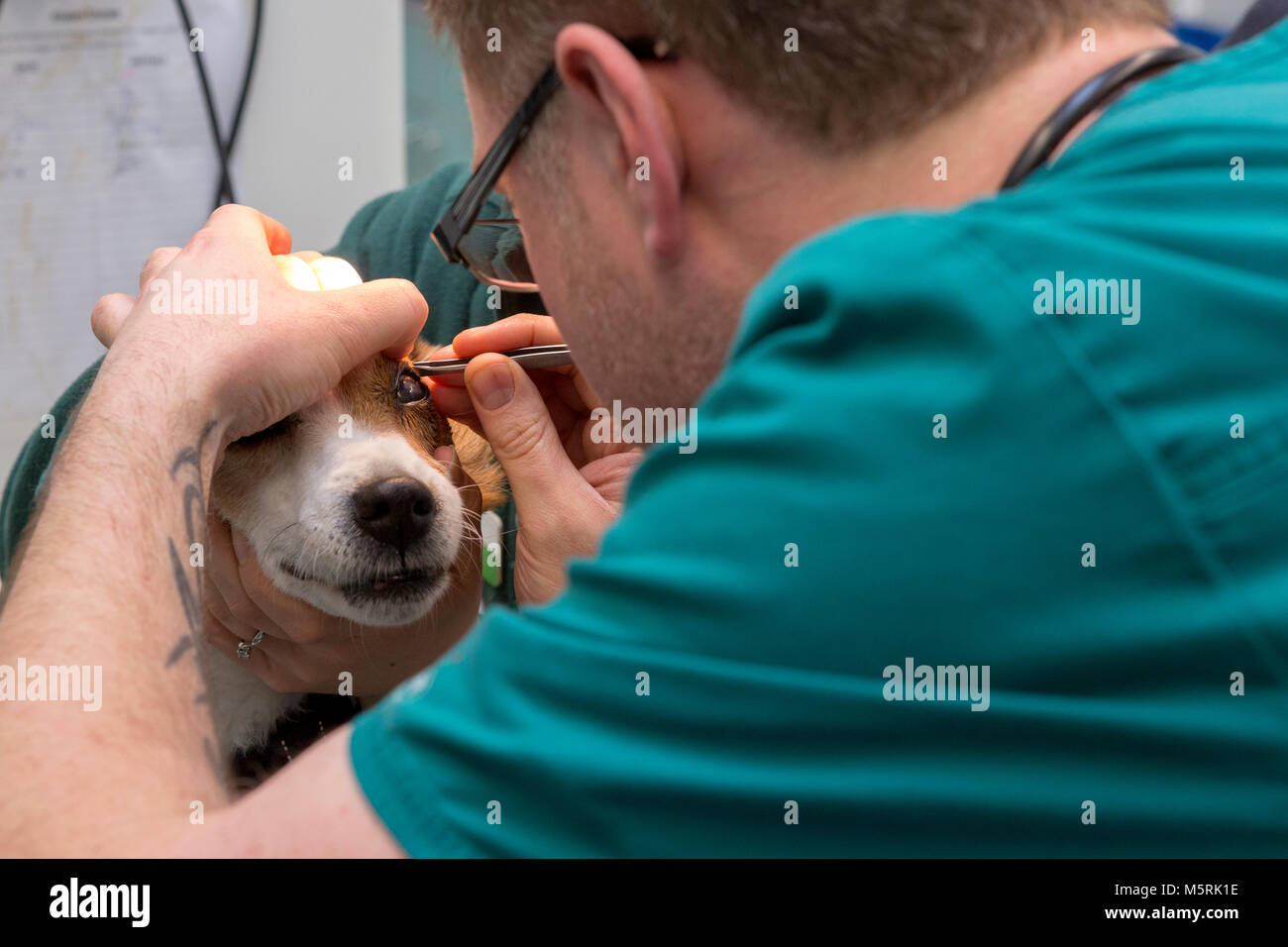 Veterinary nurse removes an object from the eye of a dog in a veterinary surgery Stock Photo