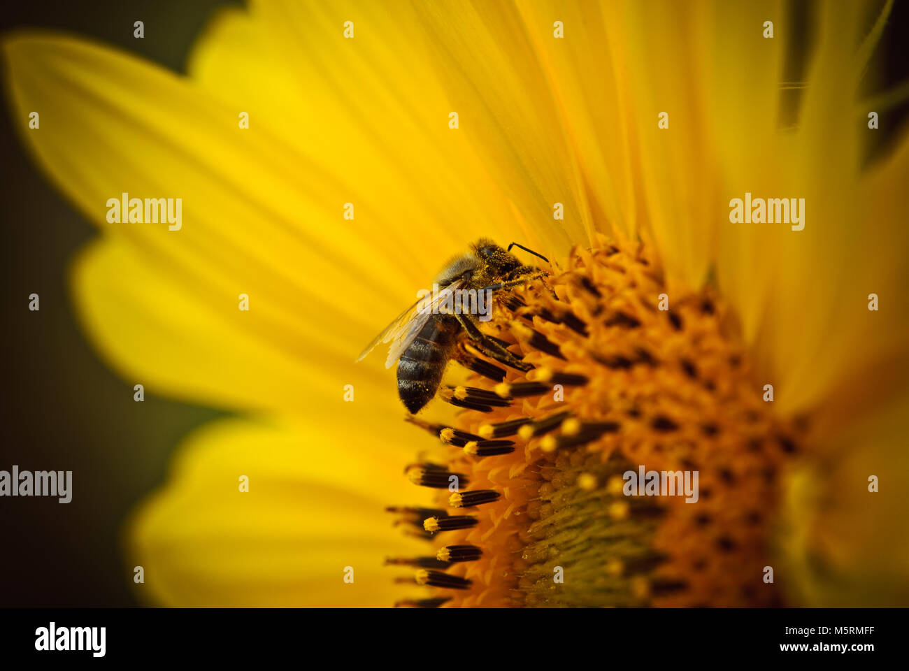 Bee on sunflower flower gathering pollen seeds and nectar - Stock Image