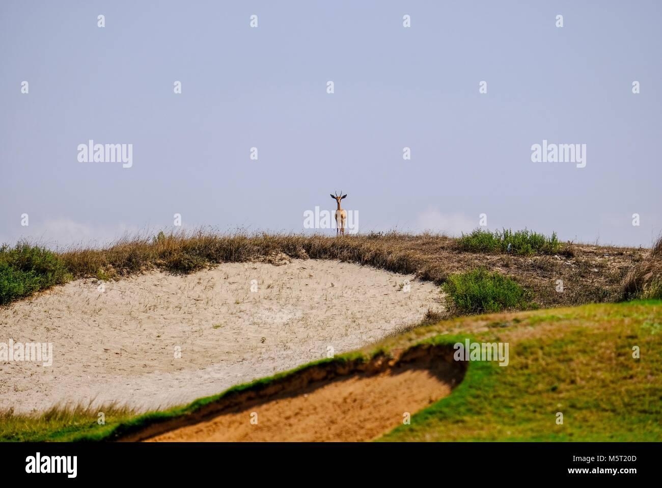 Saadiyat Island Abu Dhabi, UAE - 26th February, 2018: Alone Arabian sand Gazelle staring at camera . In Arabic Gazelle - Stock Image
