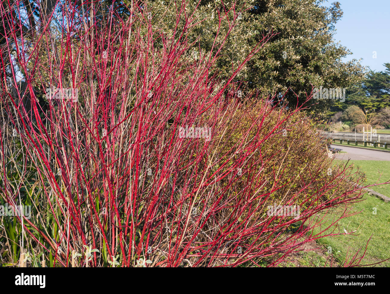 Bright red colourful stems of a Cornus alba 'Sibirica' (Siberian dogwood) plant in Winter in Southern England, - Stock Image