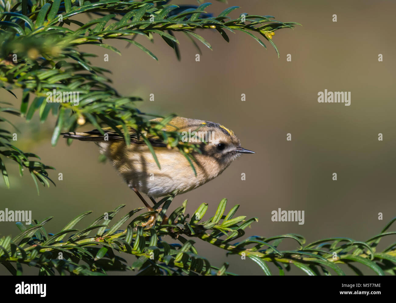 Adult Goldcrest bird (Regulus regulus) perched in a twig on a cold day in Winter in West Sussex, England, UK. - Stock Image