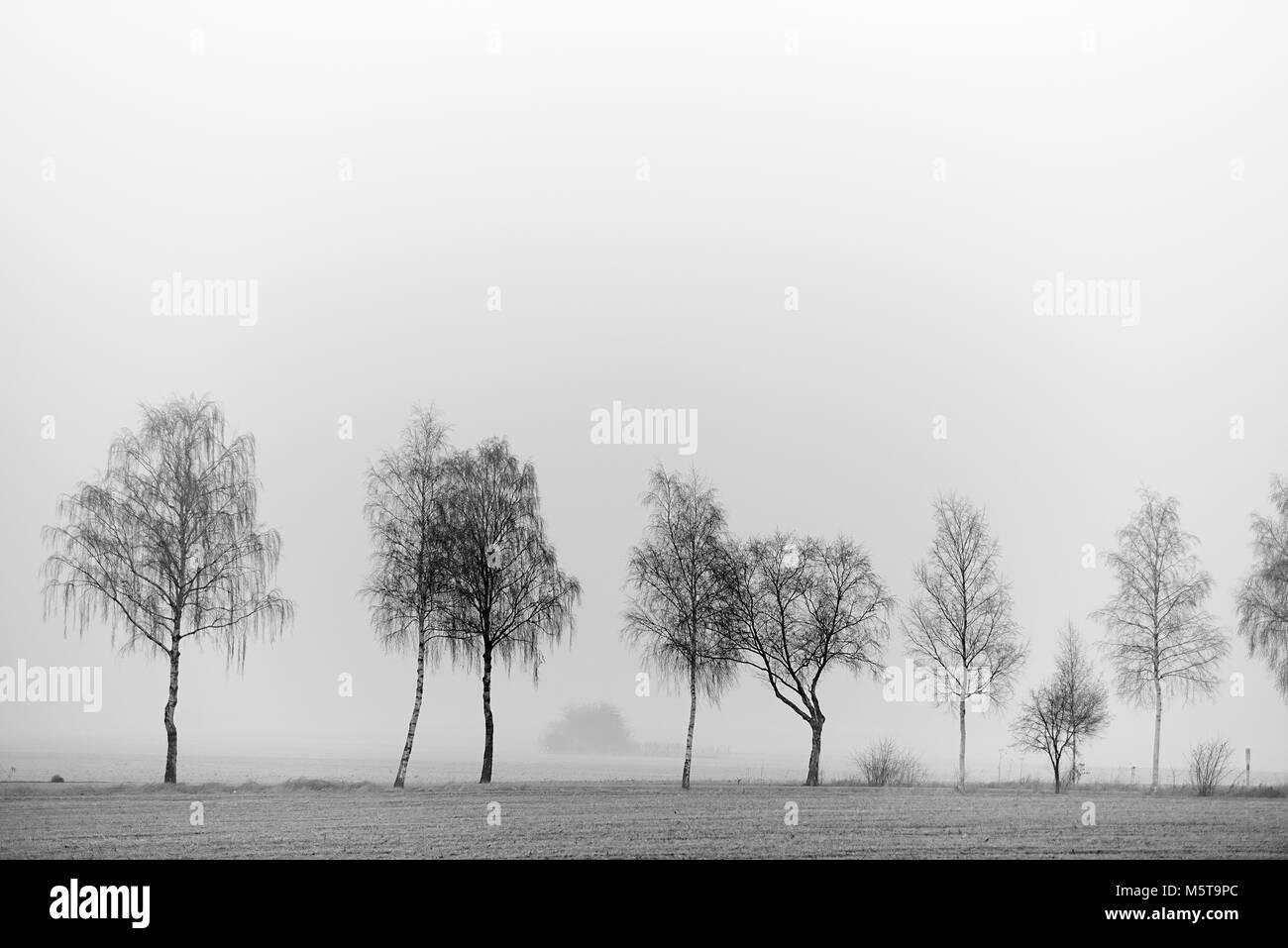 Birken im Nebel - Stock Image