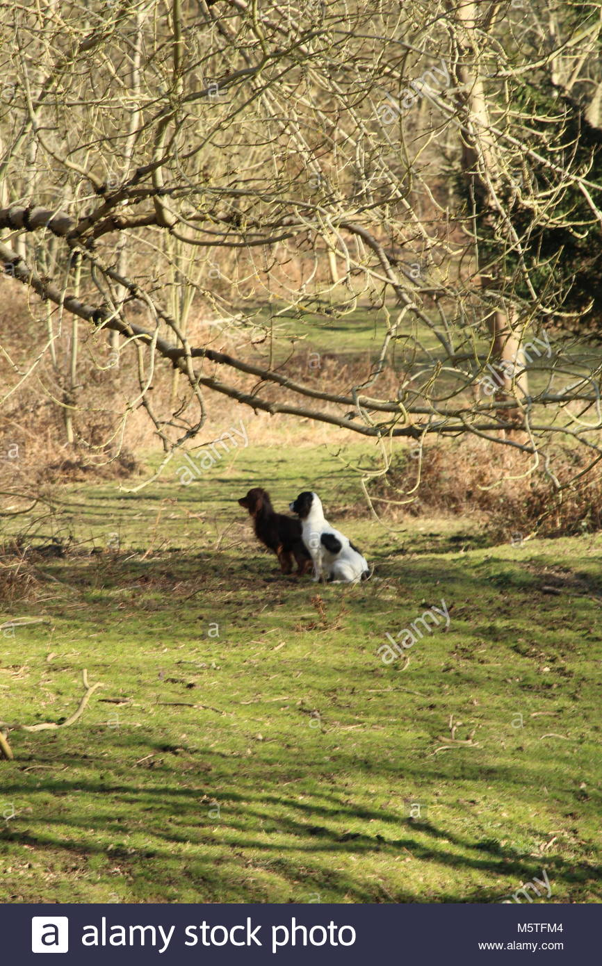 two spaniels at ease during obedience training in Essex woodland - Stock Image