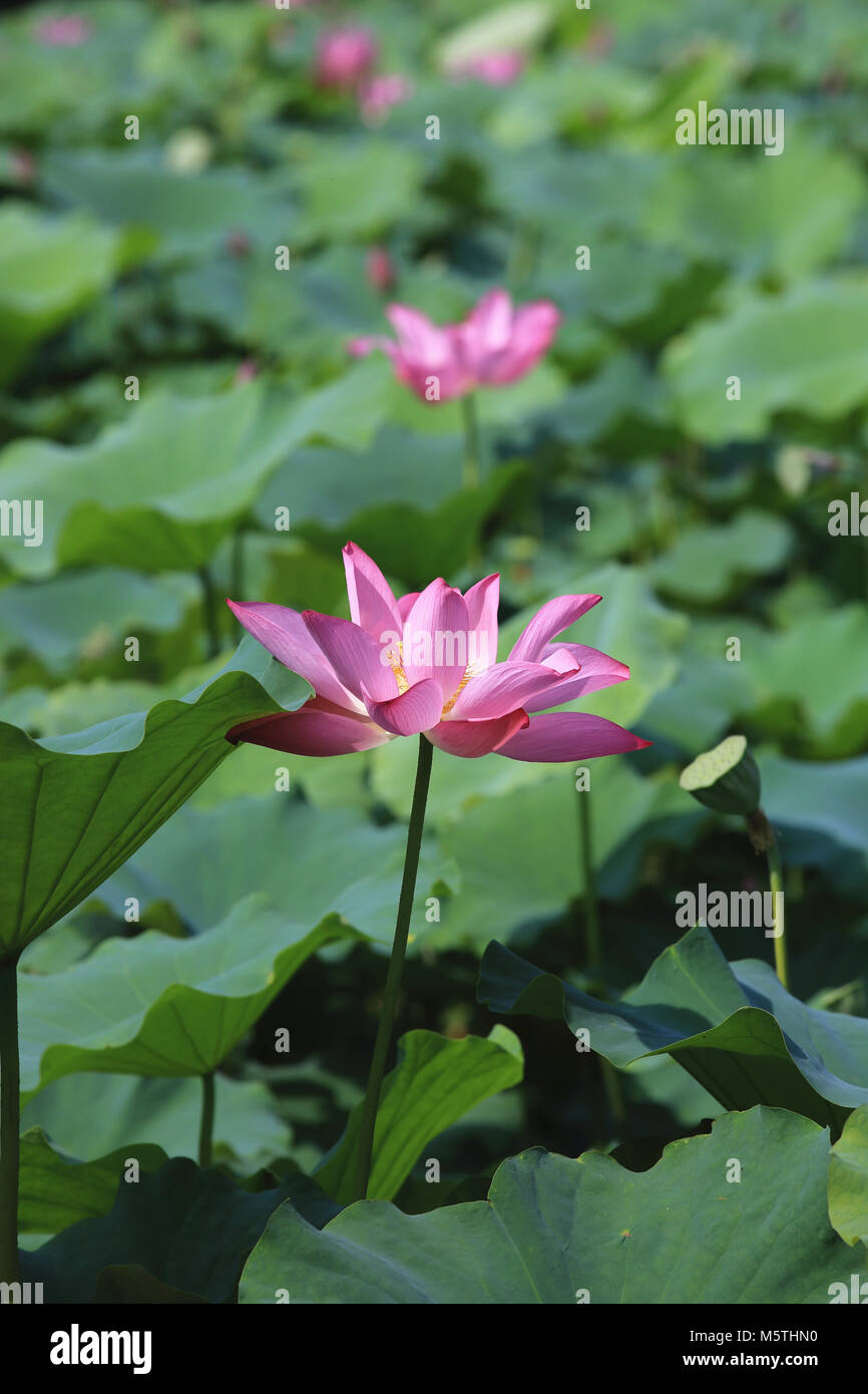 Lotus flowers and seedpodbeautiful pink with purple lotus flowers lotus flowers and seedpodbeautiful pink with purple lotus flowers blooming in the pond in summer izmirmasajfo