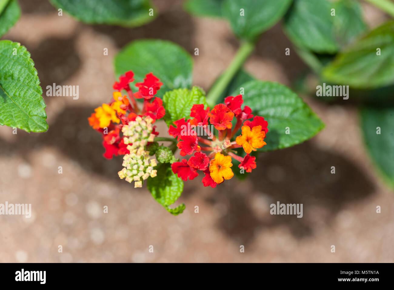 West Indian Lantana, Eldkrona (Lantana camara) Stock Photo